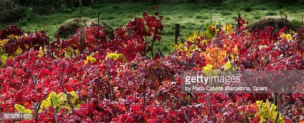 autumn colors - wineyard stock photos and pictures