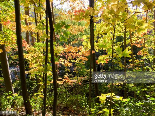autumn colors - deciduous tree stock pictures, royalty-free photos & images