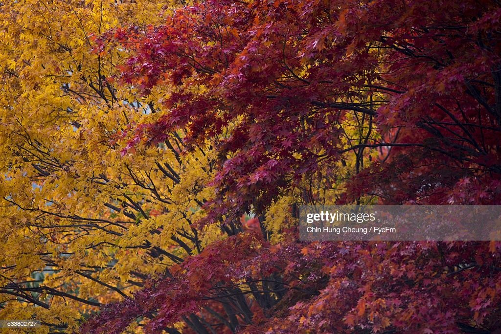 Autumn Colors Vibrant Red And Yellow On Trees : Foto stock