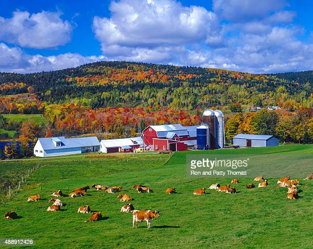 autumn colors with farm in the green mountains, vt - livestock stock pictures, royalty-free photos & images