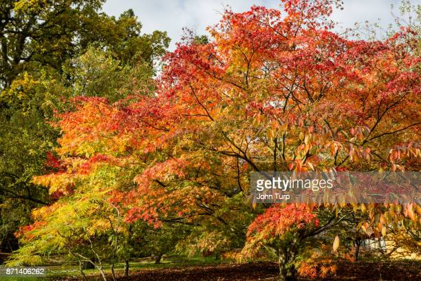 autumn colour at batsford arboretum, gloucestershire - arboreto foto e immagini stock
