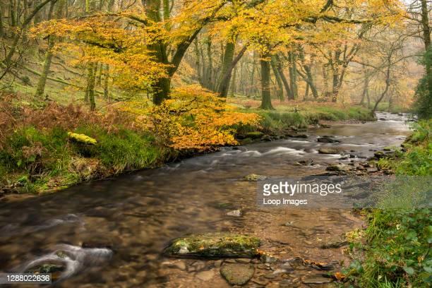 Autumn colour at Dane's Brook in Buckminster Wood in Exmoor National Park near Dulverton.