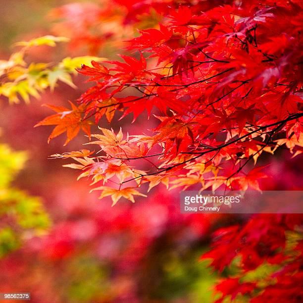 Autumn Colour in Acer Palmatum Leaves
