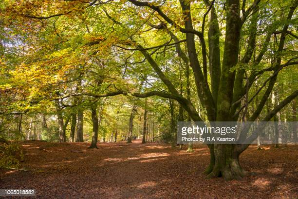 Autumn colour in woods at Alderley Edge, Cheshire, England