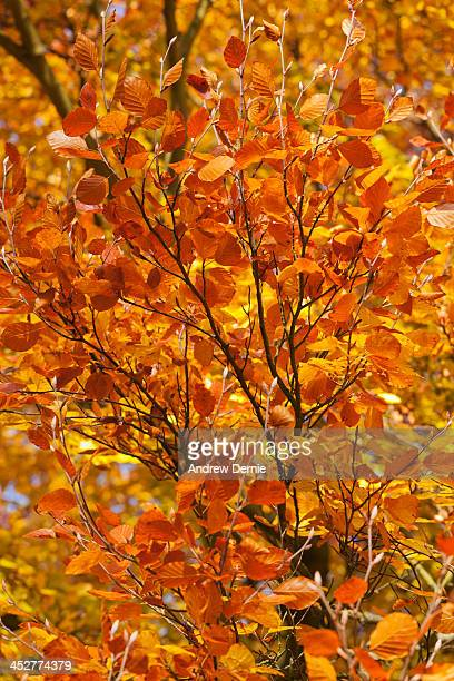 autumn colour - andrew dernie photos et images de collection