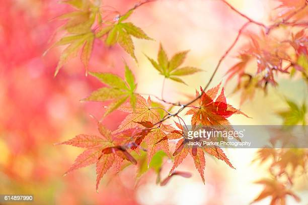 Autumn Coloured Acer Leaves