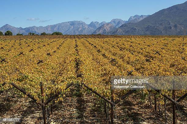 Autumn Coloured Winelands and Vineyards with Mountain Views and Sky in the Hex River Valley Near De Doorns and Worcester in the Western Cape Provence...