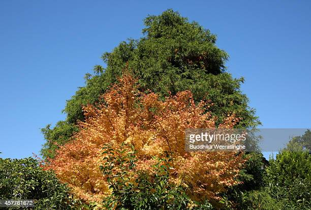 Autumn colours begin to show on trees on October 24 2014 in Asago Japan According to Japanese weather forecasting company Weather News due to the...