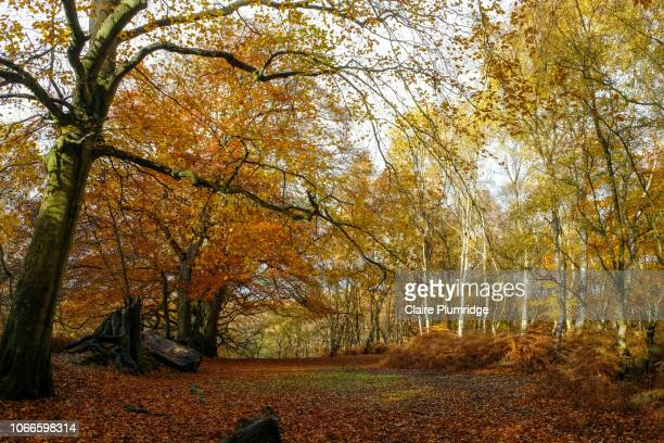 autumn colours, berkshire, uk - berkshire england stock pictures, royalty-free photos & images