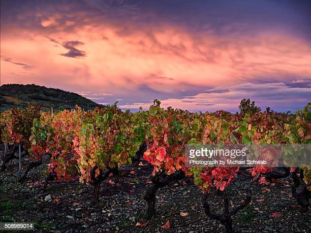 Autumn colours in a vineyard in Beaujolais, France