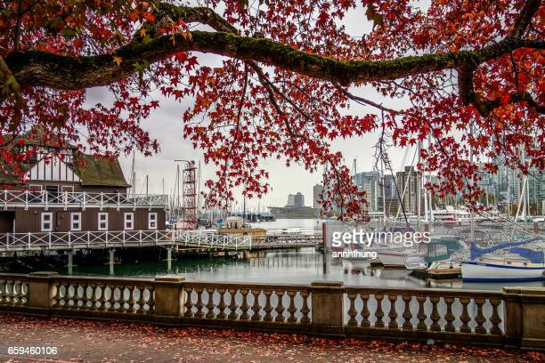 autumn colours in vancouver - stanley park stock photos and pictures