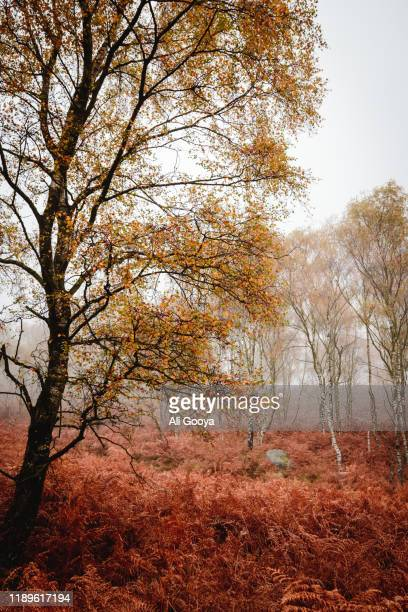 autumn colours on peak district trees, handheld + a tad of pp. - rugby union stock pictures, royalty-free photos & images