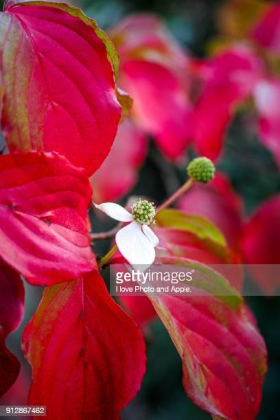 autumn colours - kousa dogwood stock pictures, royalty-free photos & images