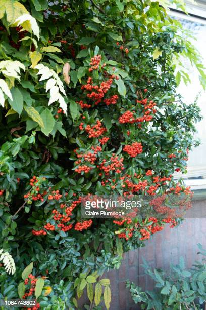 autumn colours - wild red rowan-tree in autumn, growing against a house. - claire plumridge stock pictures, royalty-free photos & images