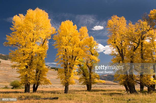 Autumn cottonwoods Lamar Valley Yellowstone