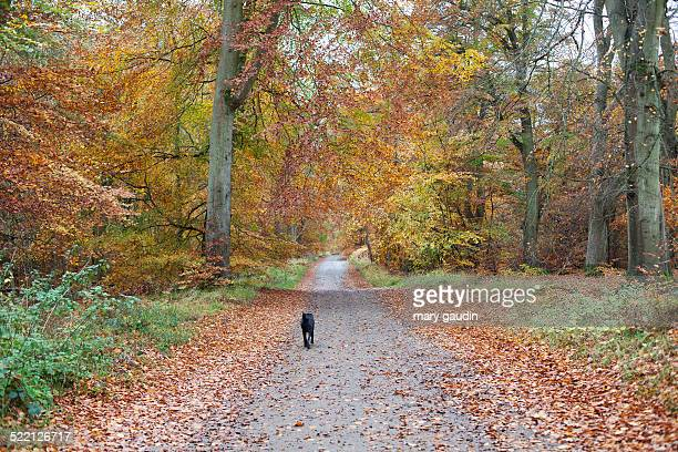 Autumn country walk with black labrador