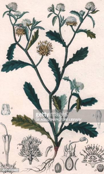 Autumn crocus colour copper engraving retouched in watercolour 9x15 cm from Dizionario delle scienze naturali compilato da vari professori del...