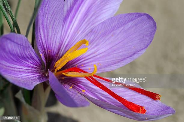 Autumn Crocus, Saffron flower, Crocus sativus, Mund, Valais, Switzerland