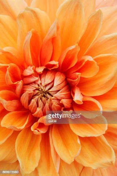 Autumn dahlia close up