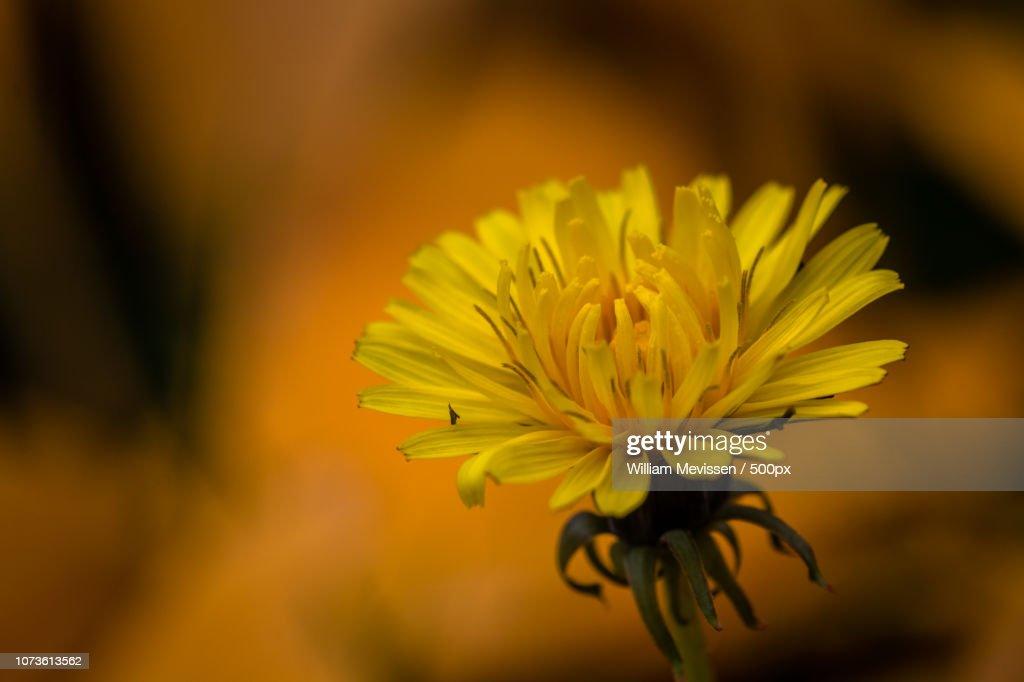 Autumn Dandelion : Stockfoto