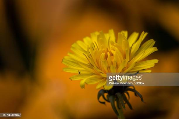 autumn dandelion - william mevissen foto e immagini stock