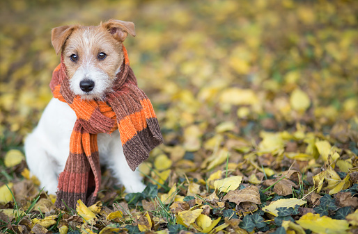 Autumn dog, cute pet puppy sitting in the leaves 1167549567