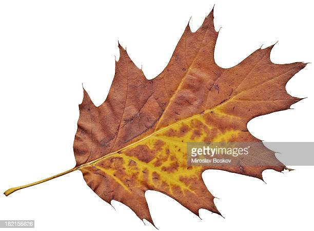 Autumn Dry Oak Leaf Isolated on White Background