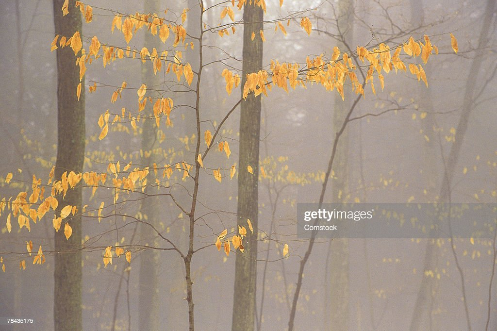 Autumn fog in woodland : Stockfoto