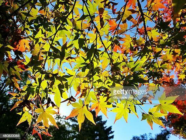Autumn foliage and  blue sky, Itsukushima, Hatsukaichi, Japan