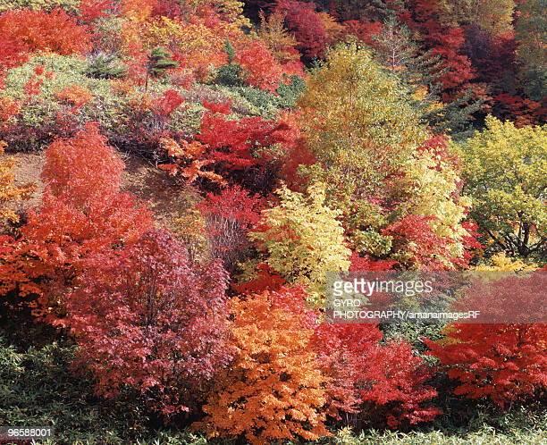 autumn foliage,  hachimantai,  iwate prefecture,  japan - 八幡平市 ストックフォトと画像