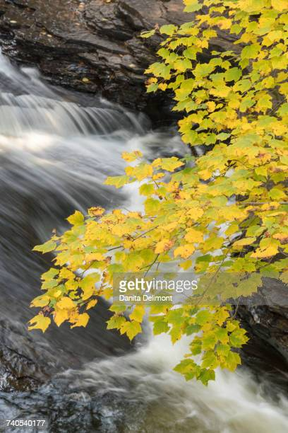 autumn foliage hangs over rushing presque isle river in porcupine mountains wilderness state park, michigan, usa - ポーキュパイン山脈ウィルダネス州立公園 ストックフォトと画像
