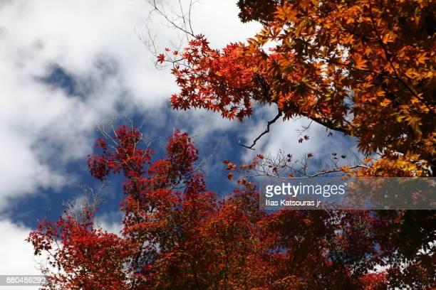 Autumn foliage in Japan against blue cloudy sky