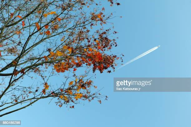 Autumn foliage in Japan against clear blue sky with airplane contrail