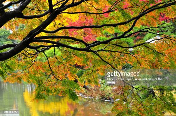 autumn foliage in tokyo - japanese maple stock photos and pictures
