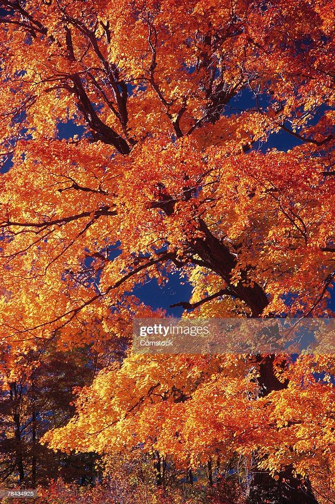 Autumn foliage : Stockfoto