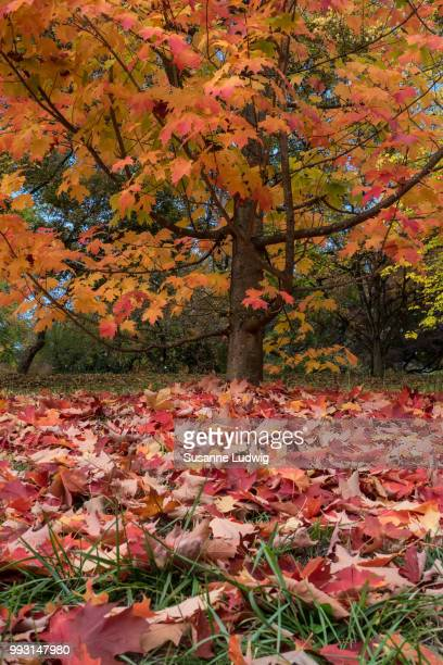 autumn foliage - susanne ludwig stock pictures, royalty-free photos & images