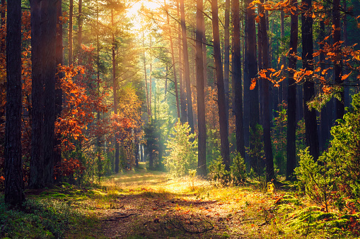 Autumn forest landscape. Colorful foliage on trees and grass shining on sunbeams. Amazing woodland. Scenery fall. Beautiful sunrays in morning forest 1011082092