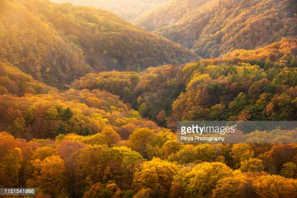 autumn forest layers in tohoku japan - natural phenomena stock pictures, royalty-free photos & images