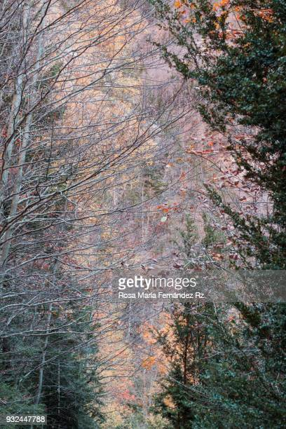 Autumn Forest.  Ordesa y Monte Perdido National Park, Huesca, Pais Vasco, Northern of Spain, Europe