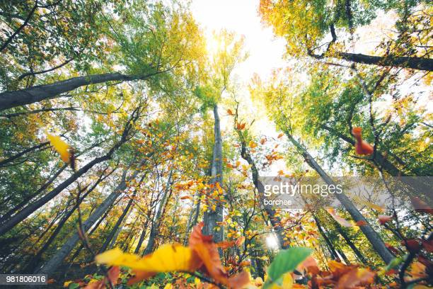 autumn forest - looking up stock pictures, royalty-free photos & images