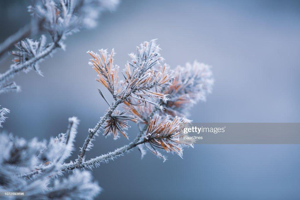 Autumn - frosty pine needles : Stock Photo