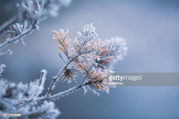 autumn - frosty pine needles - tak plantdeel stockfoto's en -beelden
