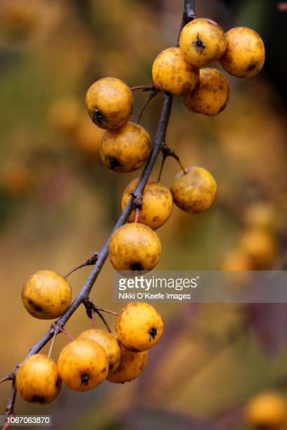 autumn fruit on a tree - wellesley massachusetts stock pictures, royalty-free photos & images