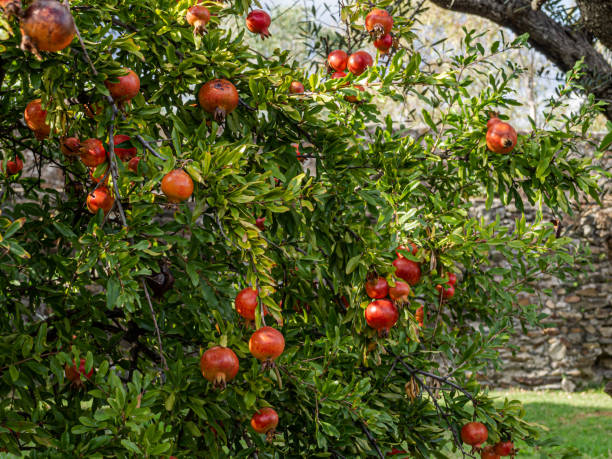 autumn fruits: organic ripe pomegranates on the branches of a pomegranate in an organic orchard - pomegranate tree stock photos and pictures