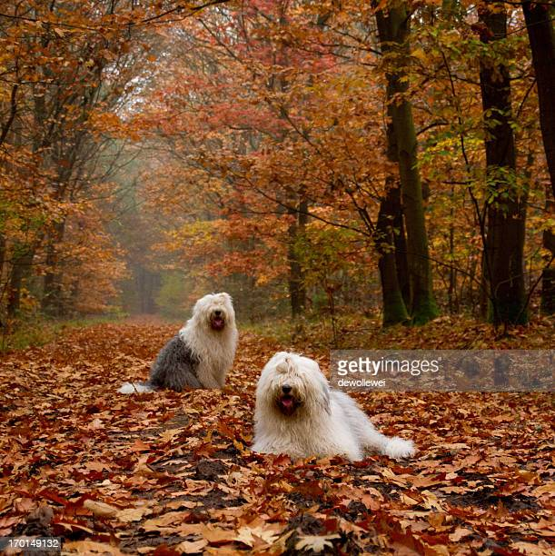 autumn fun.. - old english sheepdog stock pictures, royalty-free photos & images