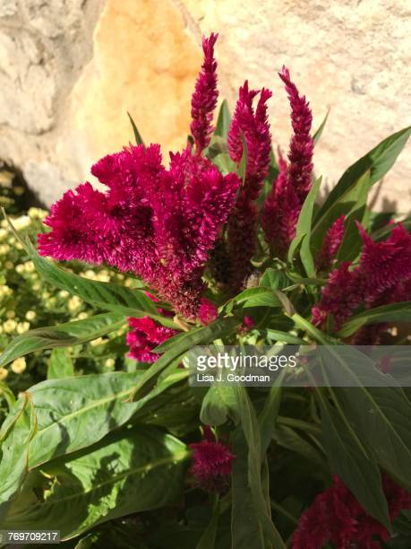 autumn garden - cockscomb plant stock photos and pictures