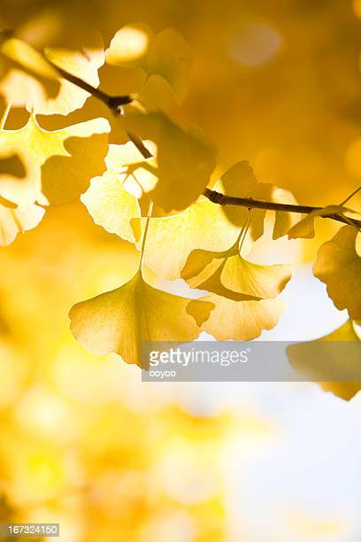 autumn ginkgo leaves - ginkgo tree stock pictures, royalty-free photos & images