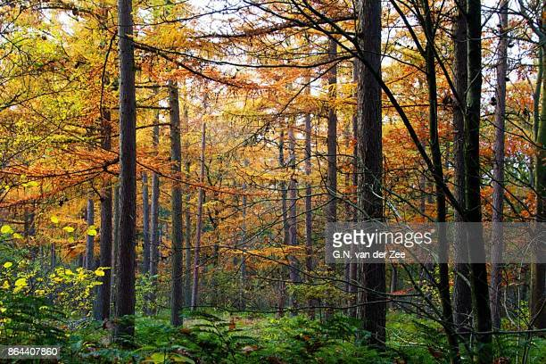 autumn gold - larch tree stock pictures, royalty-free photos & images