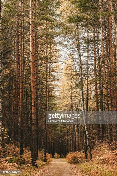 autumn golden forest landscape - september stock-fotos und bilder