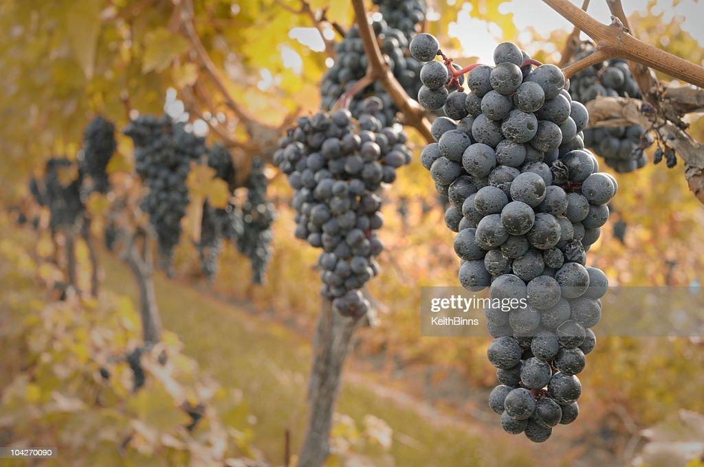 Autumn Grapes : Stock Photo